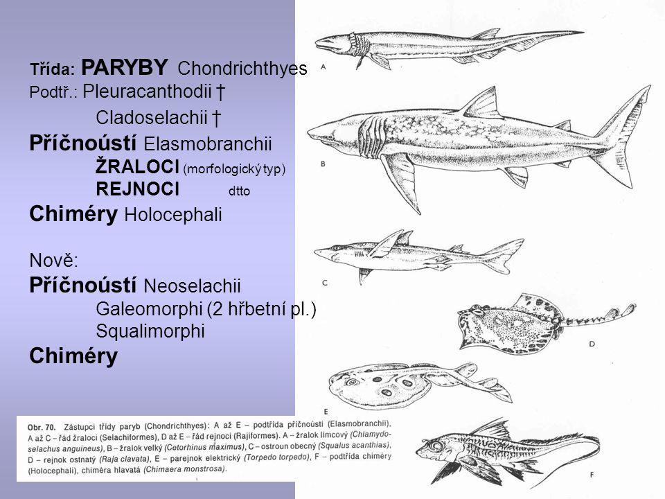 Třída: PARYBY Chondrichthyes Podtř.: Pleuracanthodii † Cladoselachii † Příčnoústí Elasmobranchii ŽRALOCI (morfologický typ) REJNOCI dtto Chiméry Holocephali Nově: Příčnoústí Neoselachii Galeomorphi (2 hřbetní pl.) Squalimorphi Chiméry