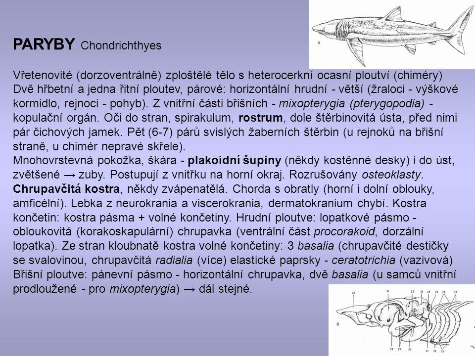 PARYBY Chondrichthyes Vřetenovité (dorzoventrálně) zploštělé tělo s heterocerkní ocasní ploutví (chiméry) Dvě hřbetní a jedna řitní ploutev, párové: horizontální hrudní - větší (žraloci - výškové kormidlo, rejnoci - pohyb).