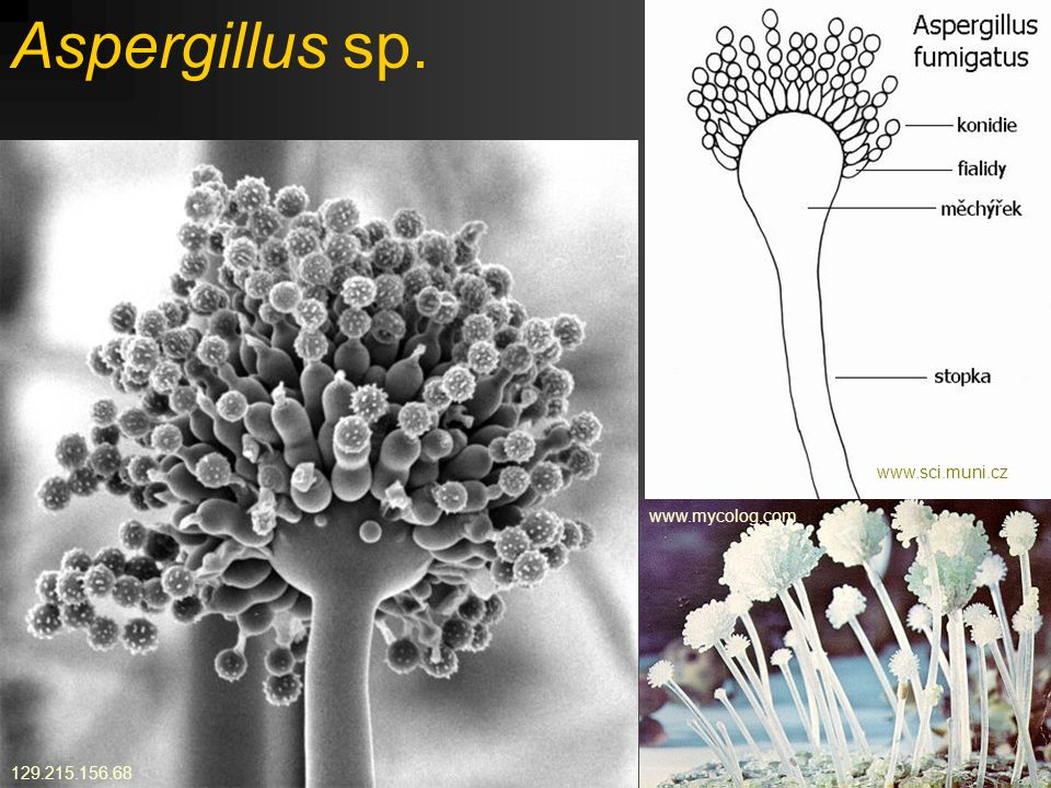 Aspergillus niger Kropidlák černý www.medmicro.info http://fungifest.comwww.sci.muni.cz