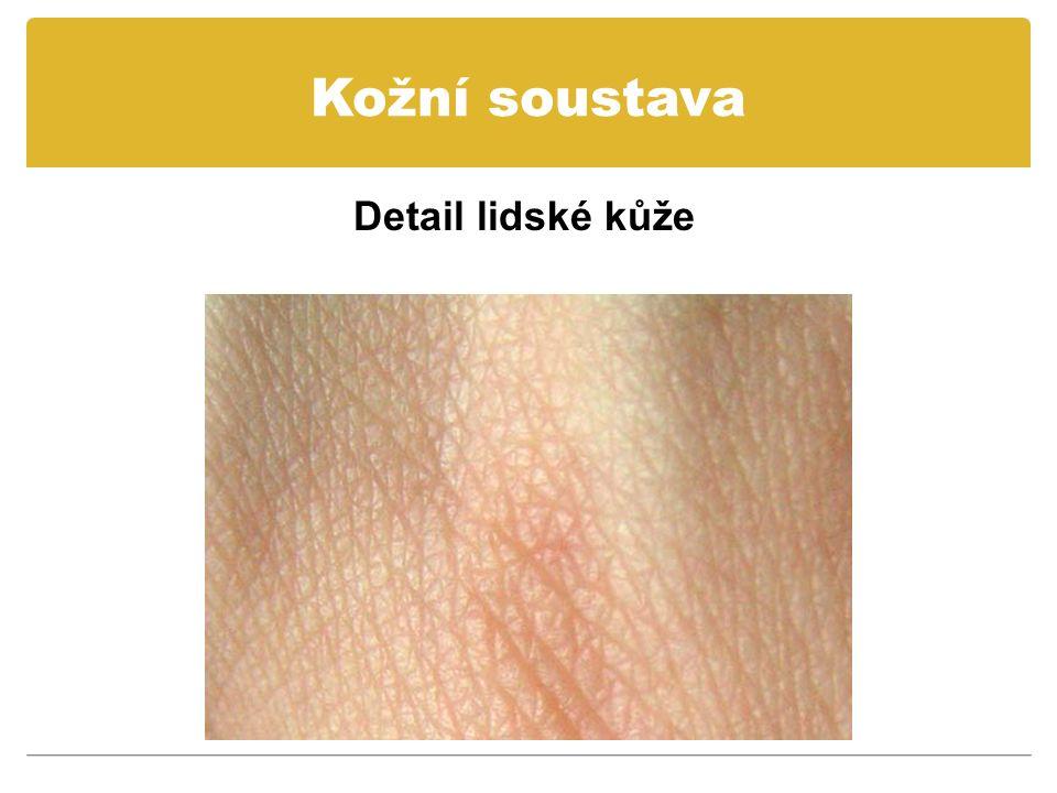 Kožní soustava Detail lidské kůže