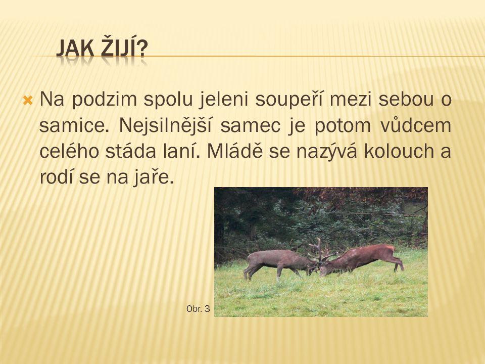  Na podzim spolu jeleni soupeří mezi sebou o samice. Nejsilnější samec je potom vůdcem celého stáda laní. Mládě se nazývá kolouch a rodí se na jaře.