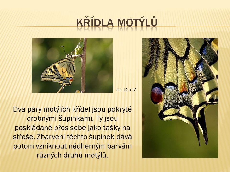 Dva páry motýlích křídel jsou pokryté drobnými šupinkami.