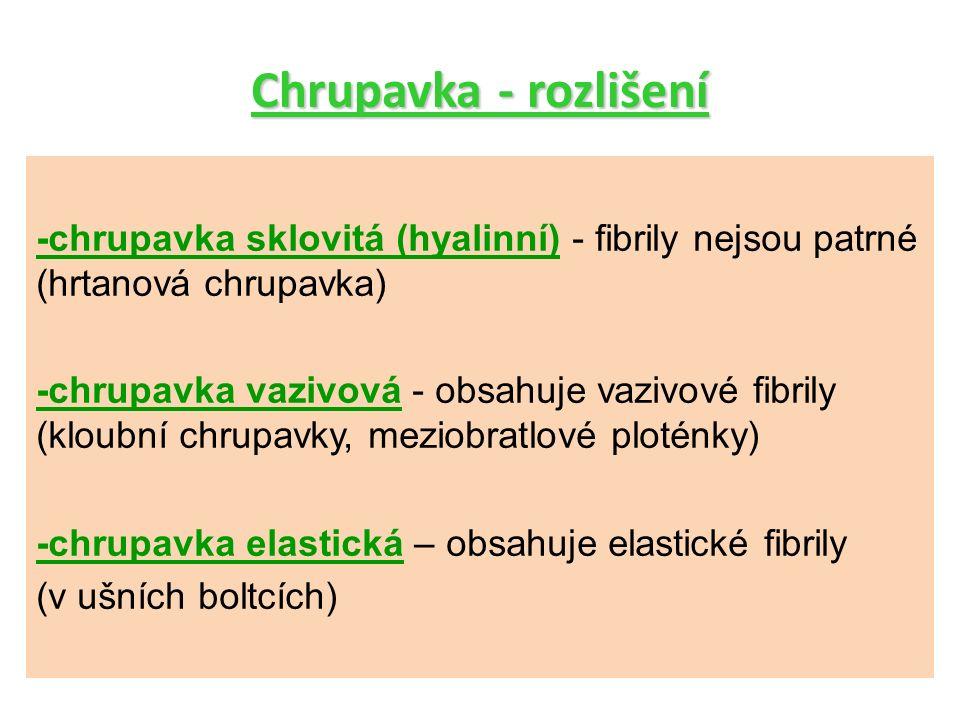Chrupavka - rozlišení -chrupavka sklovitá (hyalinní) - fibrily nejsou patrné (hrtanová chrupavka) -chrupavka vazivová - obsahuje vazivové fibrily (klo