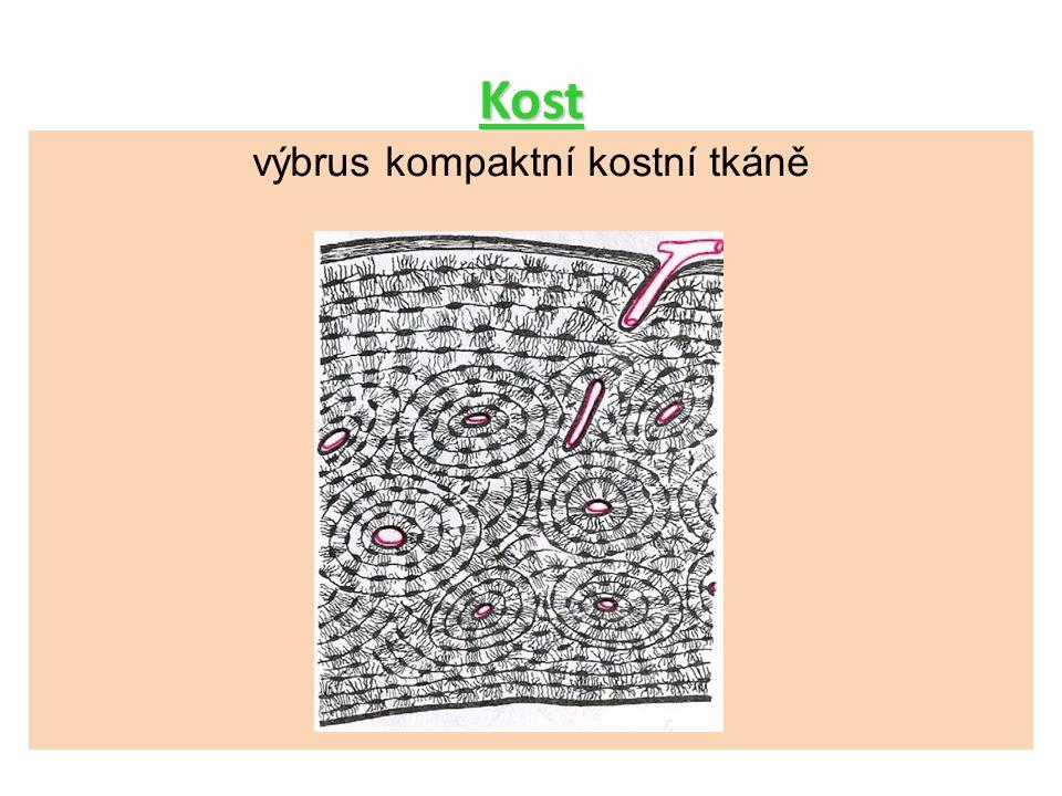 Kost výbrus kompaktní kostní tkáně