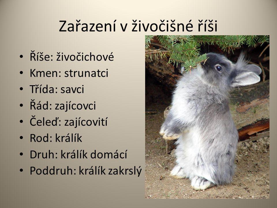 Zařazení v živočišné říši Říše: živočichové Kmen: strunatci Třída: savci Řád: zajícovci Čeleď: zajícovití Rod: králík Druh: králík domácí Poddruh: králík zakrslý