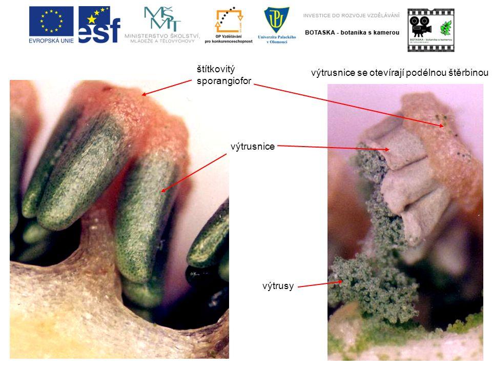 štítkovitý sporangiofor výtrusnice výtrusy výtrusnice se otevírají podélnou štěrbinou