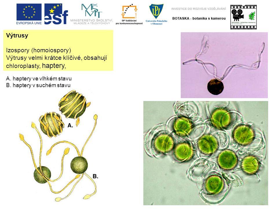Výtrusy Izospory (homoiospory) Výtrusy velmi krátce klíčivé, obsahují chloroplasty, haptery, A. haptery ve vlhkém stavu B. haptery v suchém stavu