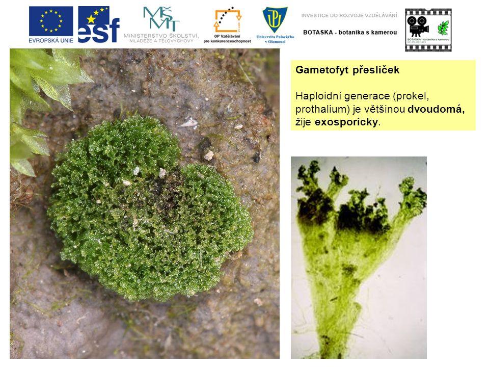 Gametofyt přesliček Haploidní generace (prokel, prothalium) je většinou dvoudomá, žije exosporicky.