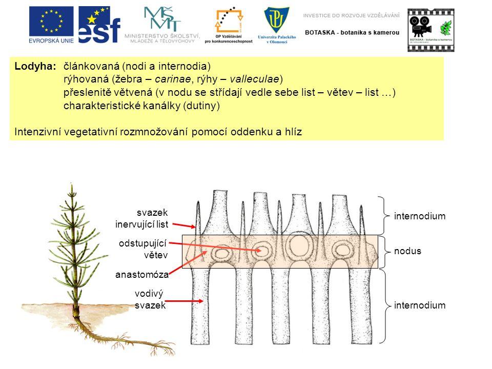 Lodyha: článkovaná (nodi a internodia) rýhovaná (žebra – carinae, rýhy – valleculae) přeslenitě větvená (v nodu se střídají vedle sebe list – větev –