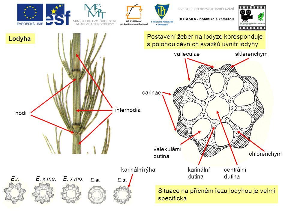 Lodyha nodi internodia valleculae carinae valekulární dutina karinální dutina centrální dutina sklerenchym chlorenchym Situace na příčném řezu lodyhou