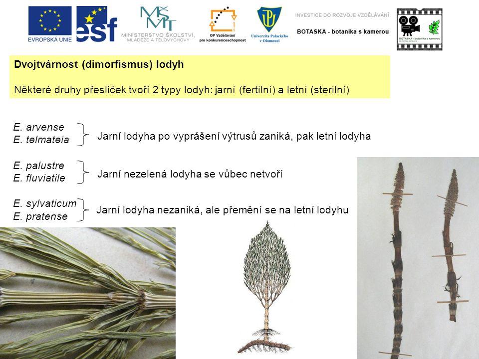 Dvojtvárnost (dimorfismus) lodyh Některé druhy přesliček tvoří 2 typy lodyh: jarní (fertilní) a letní (sterilní) E. arvense E. telmateia E. palustre E
