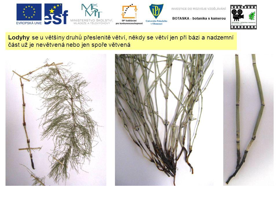 Lodyhy se u většiny druhů přeslenitě větví, někdy se větví jen při bázi a nadzemní část už je nevětvená nebo jen spoře větvená