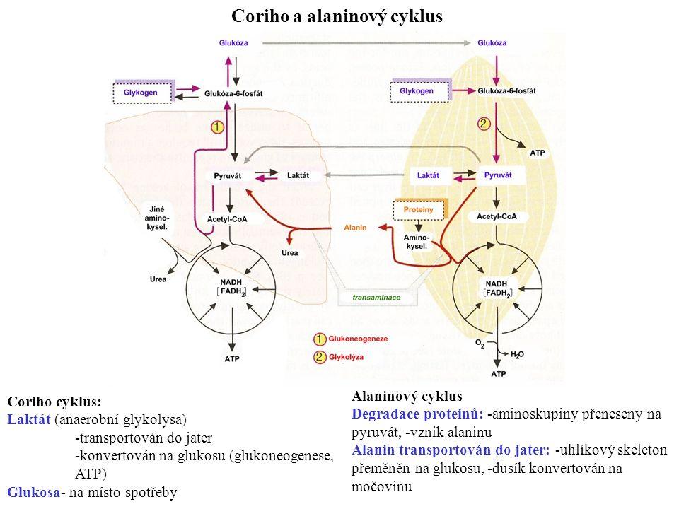 Coriho a alaninový cyklus Coriho cyklus: Laktát (anaerobní glykolysa) -transportován do jater -konvertován na glukosu (glukoneogenese, ATP) Glukosa- na místo spotřeby Alaninový cyklus Degradace proteinů:-aminoskupiny přeneseny na pyruvát, -vznik alaninu Alanin transportován do jater:-uhlíkový skeleton přeměněn na glukosu,-dusík konvertován na močovinu
