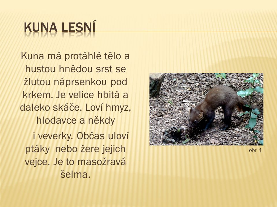 Kuna má protáhlé tělo a hustou hnědou srst se žlutou náprsenkou pod krkem.