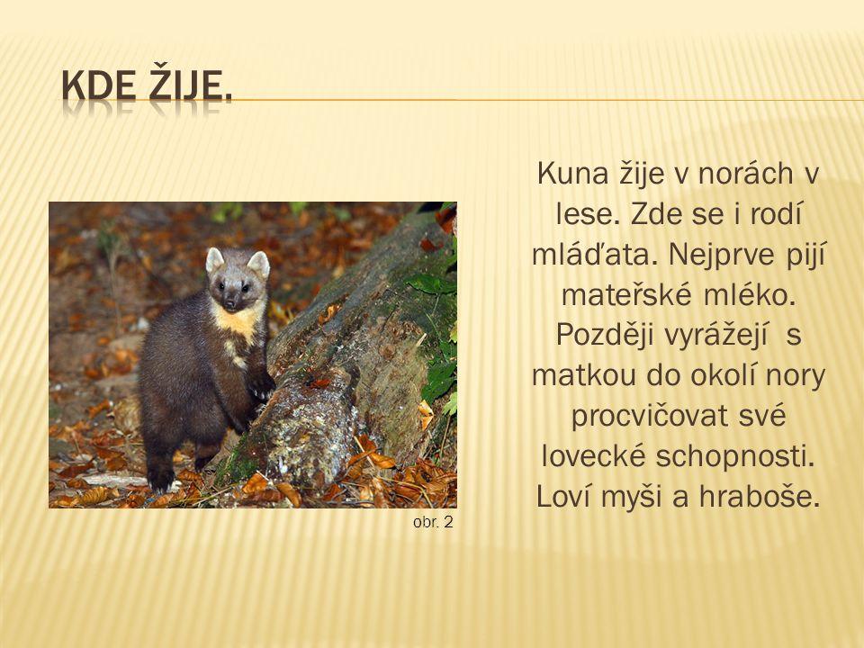 Kuna žije v norách v lese. Zde se i rodí mláďata.