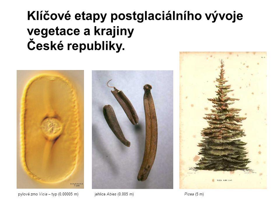Klíčové etapy postglaciálního vývoje vegetace a krajiny České republiky. pylové zrno Vicia – typ (0,00005 m)jehlice Abies (0,005 m)Picea (5 m)