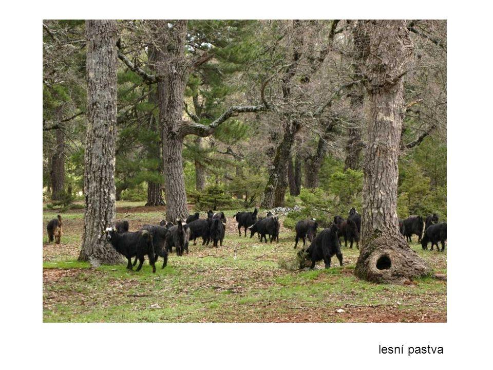 lesní pastva
