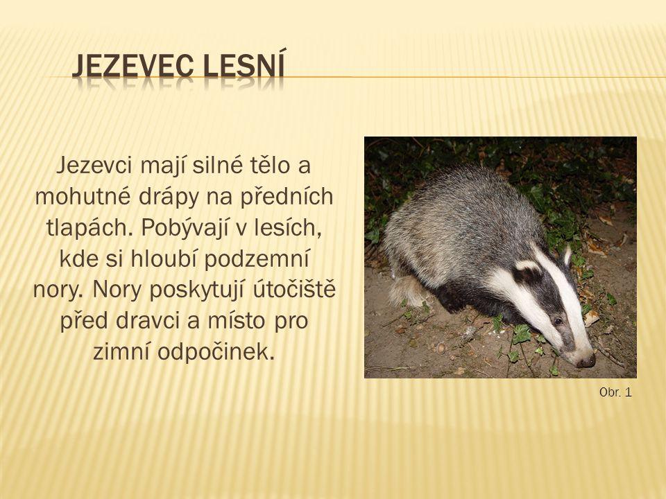 Jezevci mají silné tělo a mohutné drápy na předních tlapách. Pobývají v lesích, kde si hloubí podzemní nory. Nory poskytují útočiště před dravci a mís