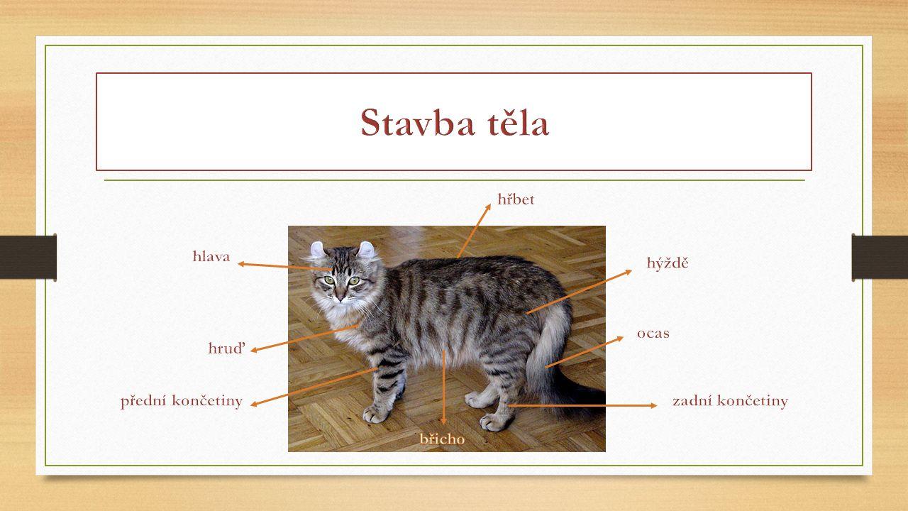 Kočka je predátor – smysly jsou silně vyvinuty, tichý a rychlý pohyb, vyzbrojena zuby a drápy.
