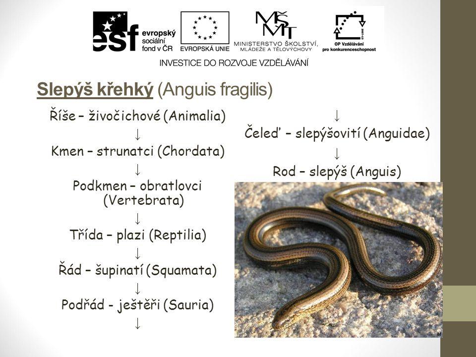 Slepýš křehký (Anguis fragilis) Říše – živočichové (Animalia) ↓ Kmen – strunatci (Chordata) ↓ Podkmen – obratlovci (Vertebrata) ↓ Třída – plazi (Repti