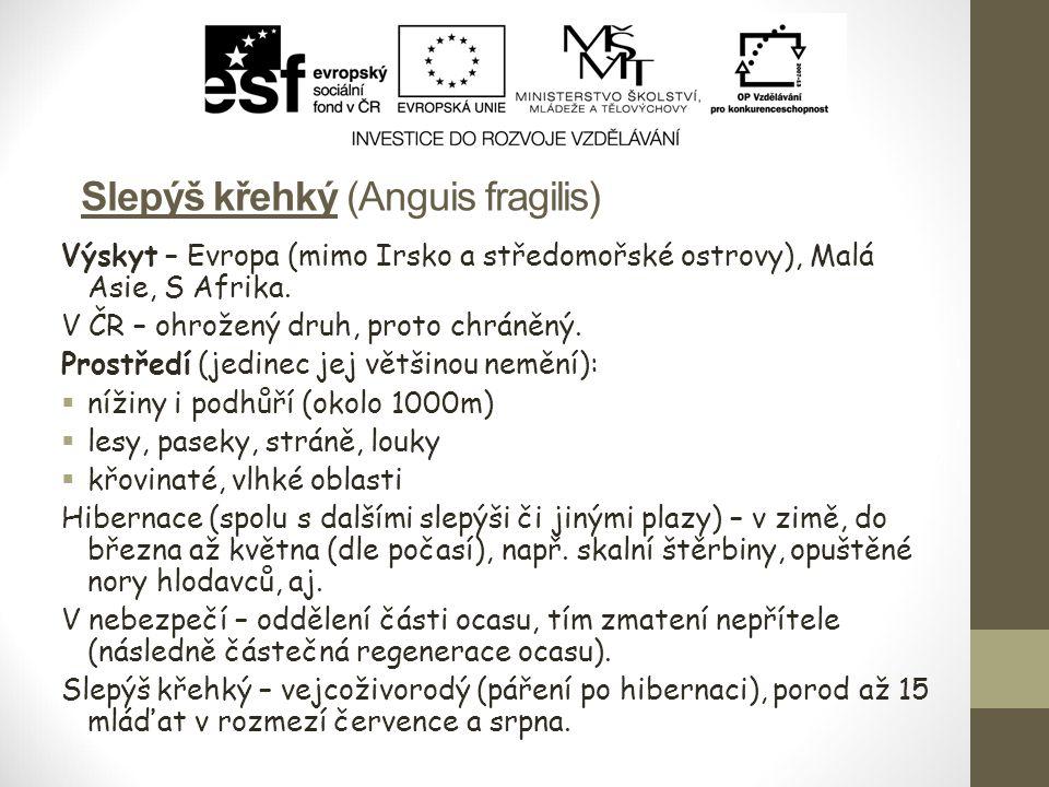 Slepýš křehký (Anguis fragilis) Výskyt – Evropa (mimo Irsko a středomořské ostrovy), Malá Asie, S Afrika. V ČR – ohrožený druh, proto chráněný. Prostř
