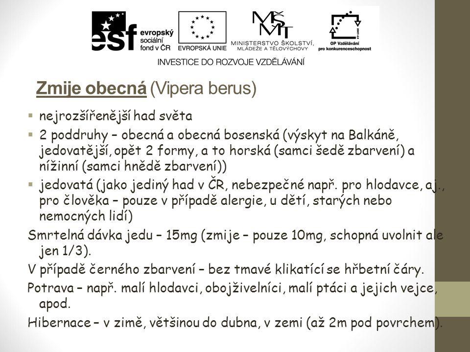 Zmije obecná (Vipera berus)  nejrozšířenější had světa  2 poddruhy – obecná a obecná bosenská (výskyt na Balkáně, jedovatější, opět 2 formy, a to ho
