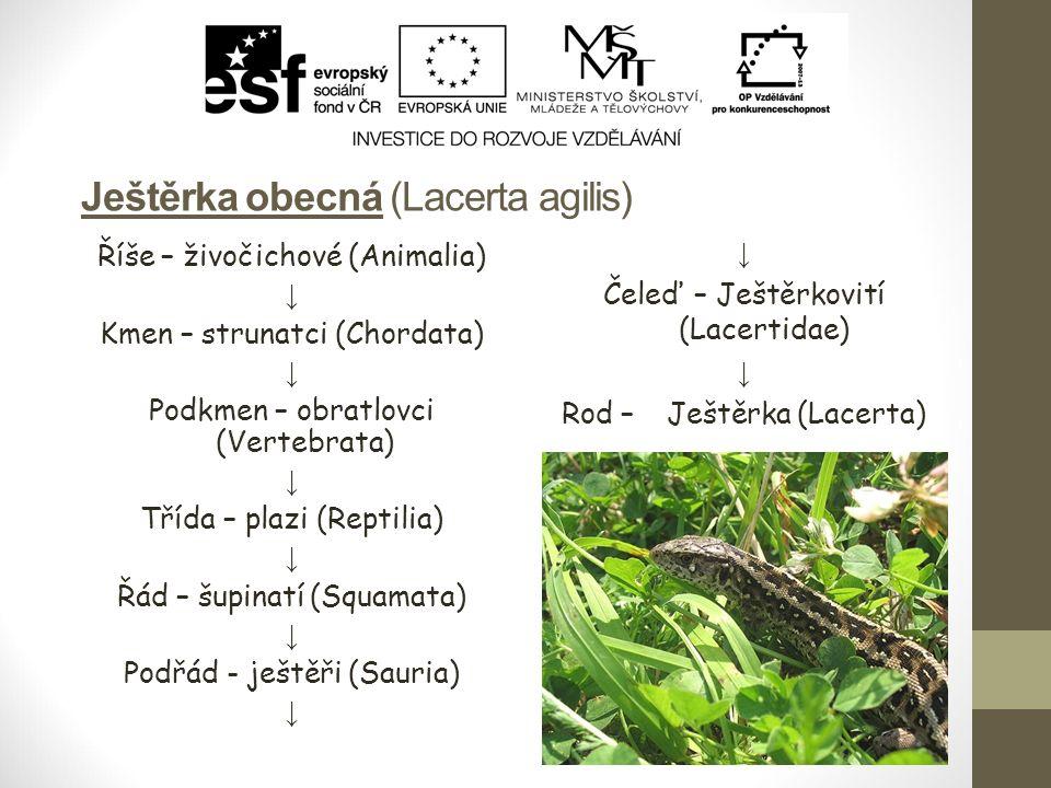 Ještěrka obecná (Lacerta agilis) Říše – živočichové (Animalia) ↓ Kmen – strunatci (Chordata) ↓ Podkmen – obratlovci (Vertebrata) ↓ Třída – plazi (Rept