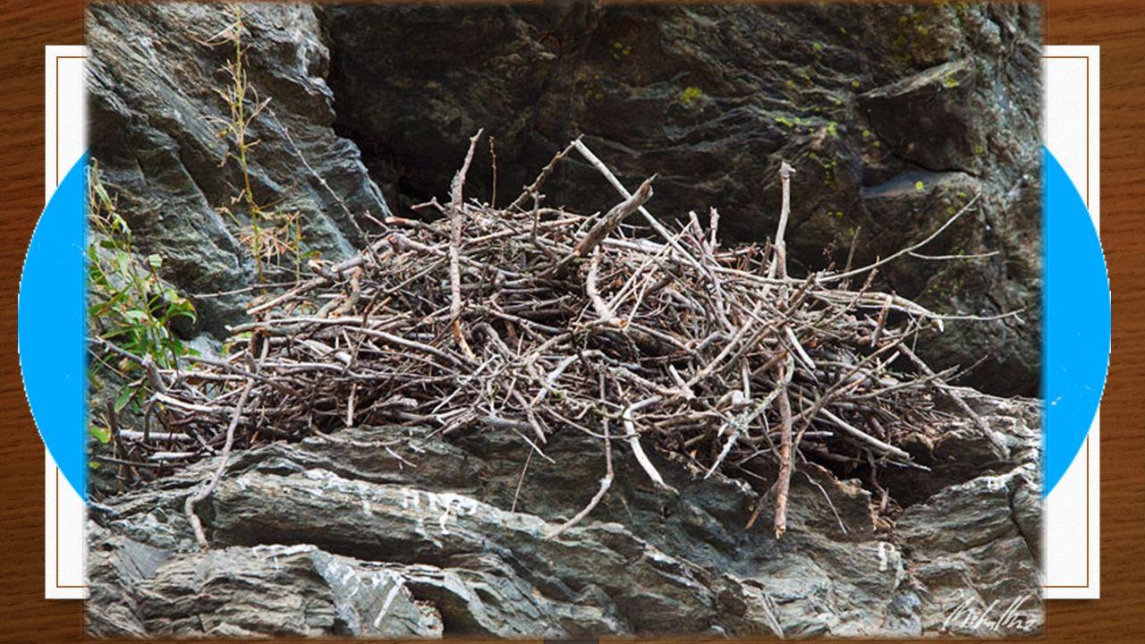 Způsob života Není tažný Hnízdo na vysoké skále, stromě Mláďata - holá Potrava: drobní obratlovci (hlodavci, mláďata zajíců, králíků, ptáčata) Mrchožrouti - arktické oblasti Věk: 10 - 15 let, v zajetí více než 40