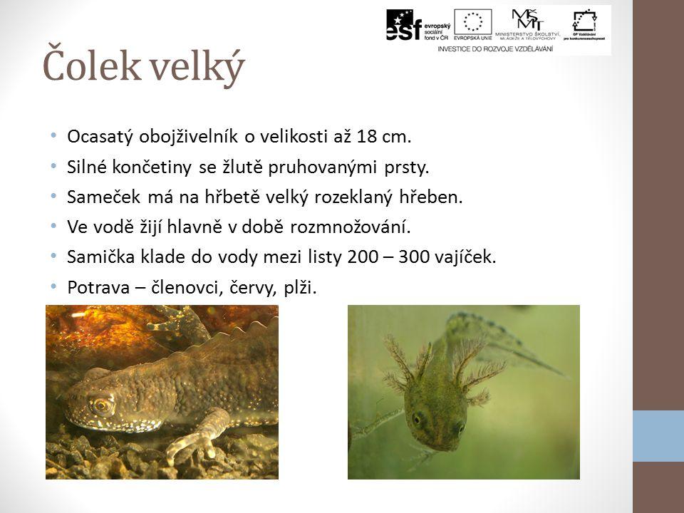 Čolek obecný Velikost 6 – 10 cm, samice je menší. Nejběžnější druh v ČR. Drobné končetiny a dlouhá hlava. Zbarvení – kovově zelená s hnědými skvrnami,