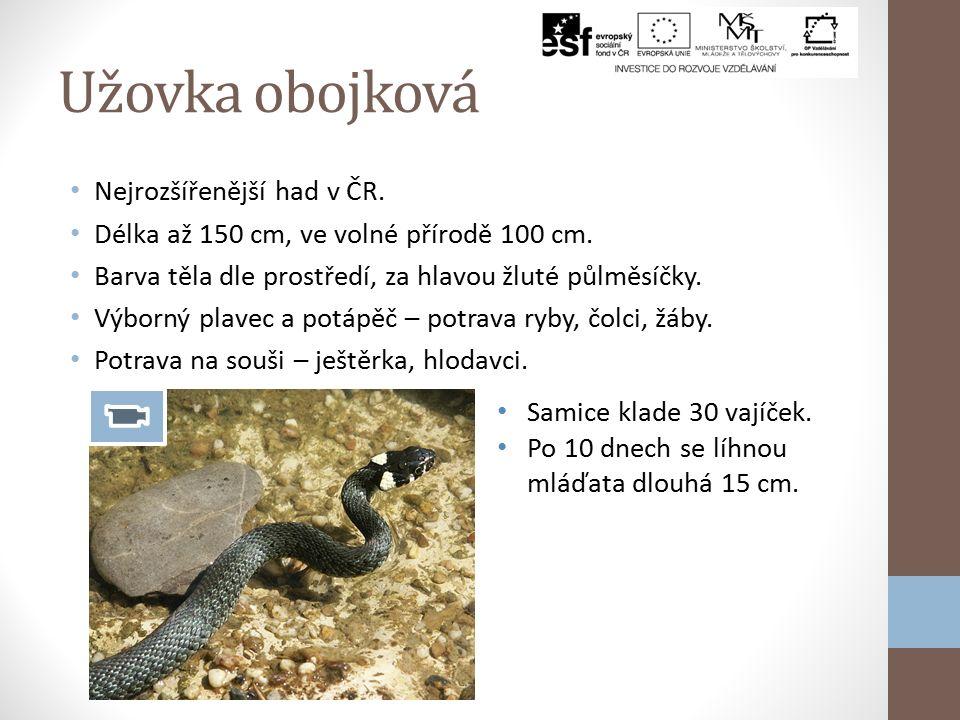 Ještěrka živorodá Nejhojnější druh ještěrek v ČR. Velikost asi 15 cm + ocas 22 – 30 cm, krátké končetiny s dlouhými prsty. Zbarvení je nejčastěji svět