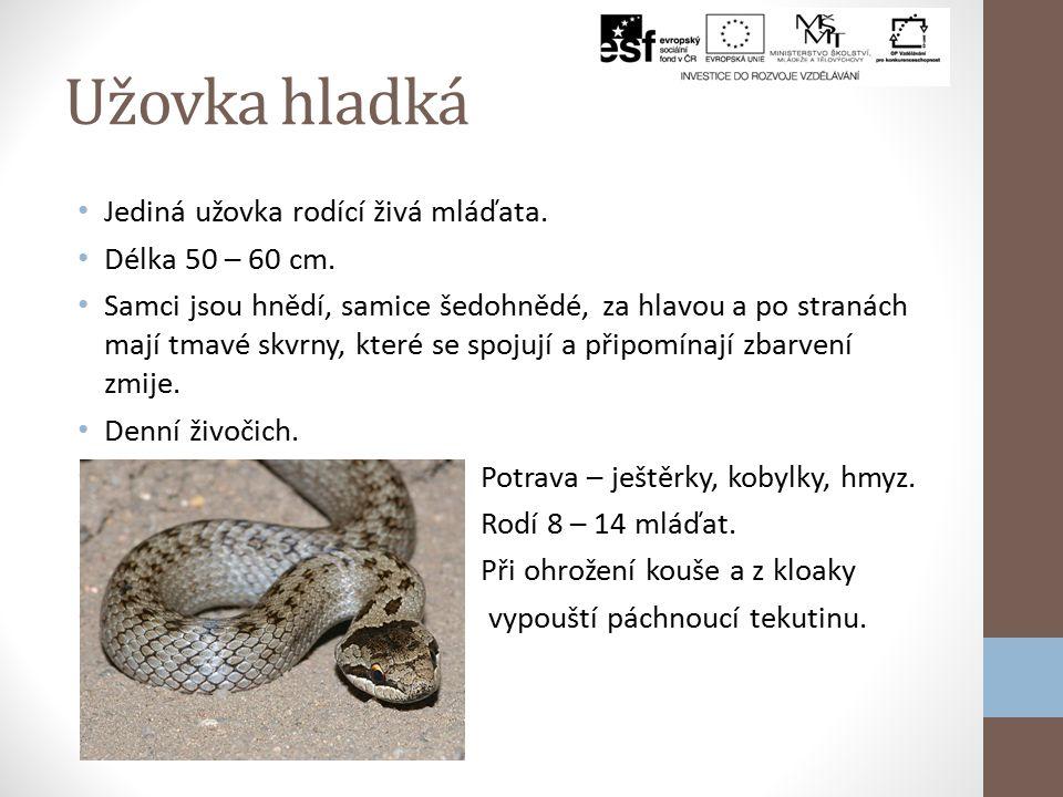 Užovka obojková Nejrozšířenější had v ČR. Délka až 150 cm, ve volné přírodě 100 cm. Barva těla dle prostředí, za hlavou žluté půlměsíčky. Výborný plav