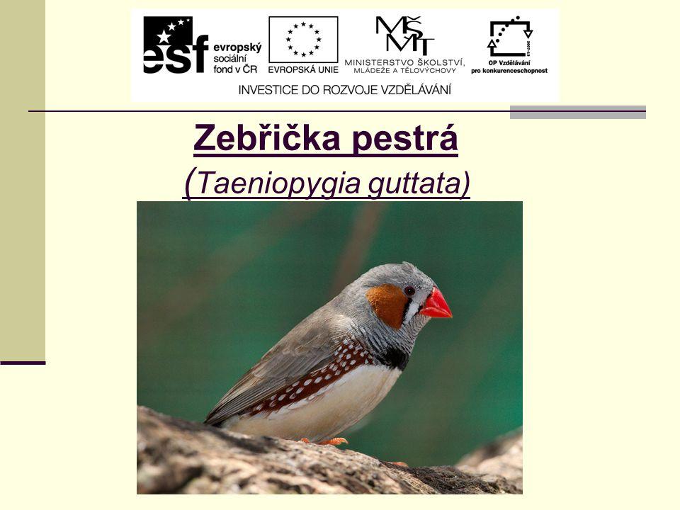 Zebřička pestrá ( Taeniopygia guttata)