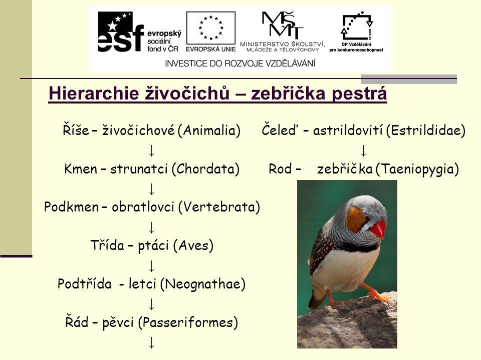 Hierarchie živočichů – zebřička pestrá Říše – živočichové (Animalia) ↓ Kmen – strunatci (Chordata) ↓ Podkmen – obratlovci (Vertebrata) ↓ Třída – ptáci (Aves) ↓ Podtřída - letci (Neognathae) ↓ Řád – pěvci (Passeriformes) ↓ Čeleď – astrildovití (Estrildidae) ↓ Rod – zebřička (Taeniopygia)