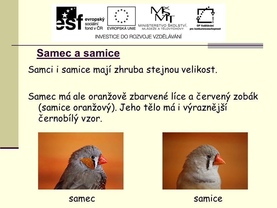 Samec a samice Samci i samice mají zhruba stejnou velikost. Samec má ale oranžově zbarvené líce a červený zobák (samice oranžový). Jeho tělo má i výra