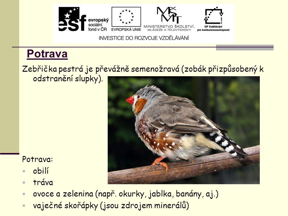 Potrava Zebřička pestrá je převážně semenožravá (zobák přizpůsobený k odstranění slupky). Potrava:  obilí  tráva  ovoce a zelenina (např. okurky, j