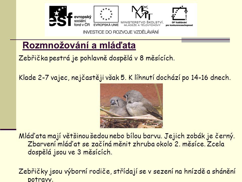 Rozmnožování a mláďata Zebřička pestrá je pohlavně dospělá v 8 měsících. Klade 2-7 vajec, nejčastěji však 5. K líhnutí dochází po 14-16 dnech. Mláďata