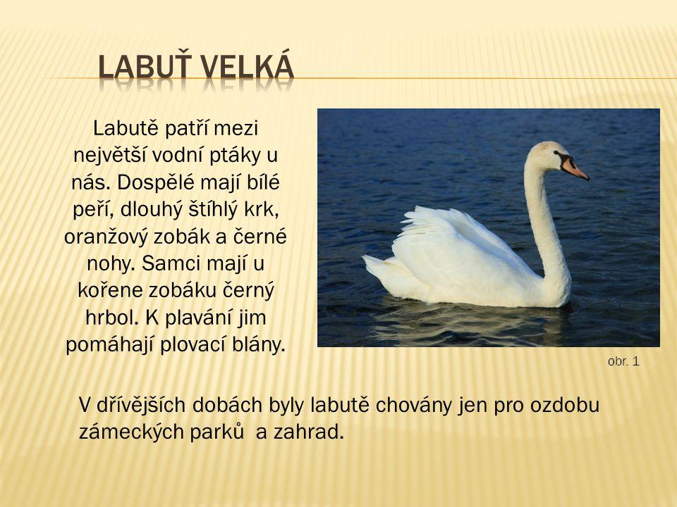 Labutě patří mezi největší vodní ptáky u nás. Dospělé mají bílé peří, dlouhý štíhlý krk, oranžový zobák a černé nohy. Samci mají u kořene zobáku černý