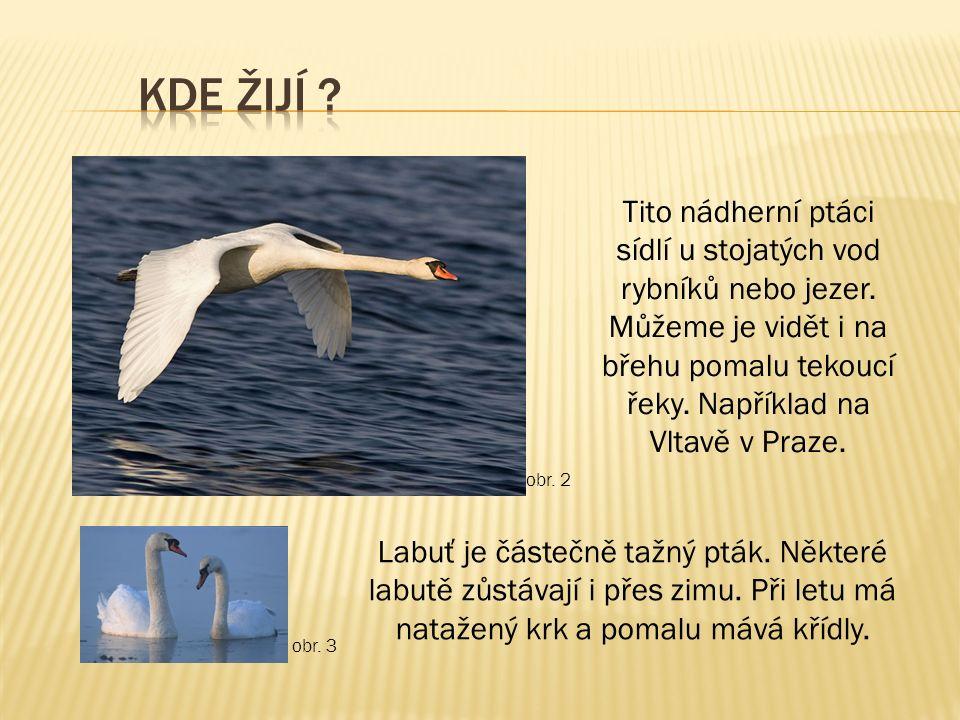 Tito nádherní ptáci sídlí u stojatých vod rybníků nebo jezer. Můžeme je vidět i na břehu pomalu tekoucí řeky. Například na Vltavě v Praze. Labuť je čá