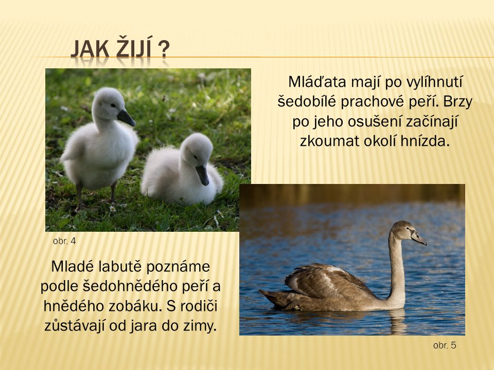 Hnízda si staví z proutí a z rákosu na okraji rybníku nebo na břehu řeky.
