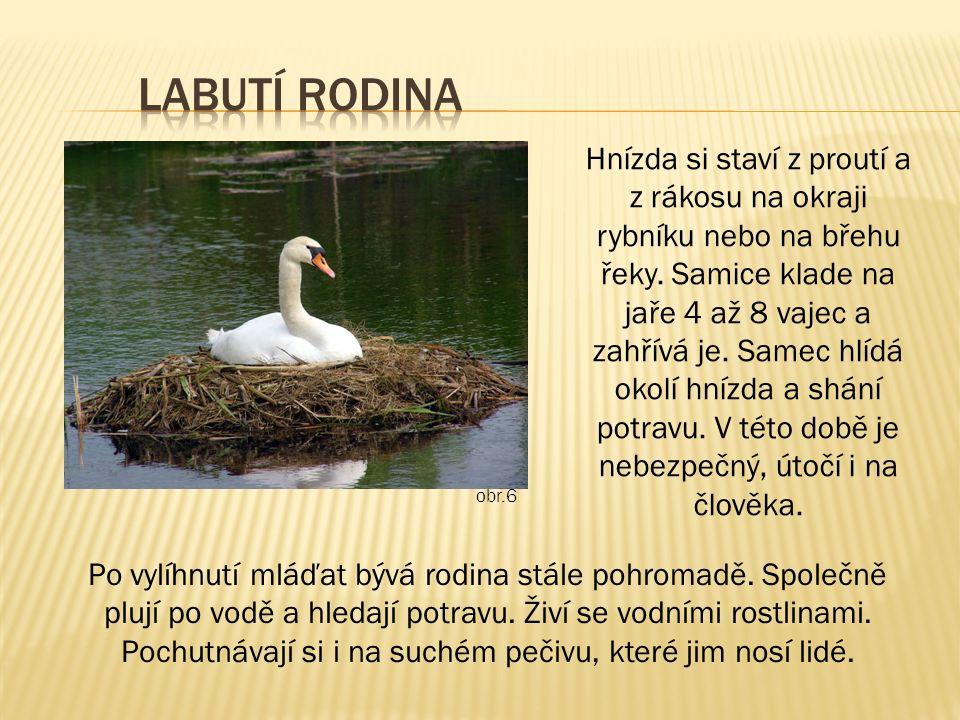 Hnízda si staví z proutí a z rákosu na okraji rybníku nebo na břehu řeky. Samice klade na jaře 4 až 8 vajec a zahřívá je. Samec hlídá okolí hnízda a s