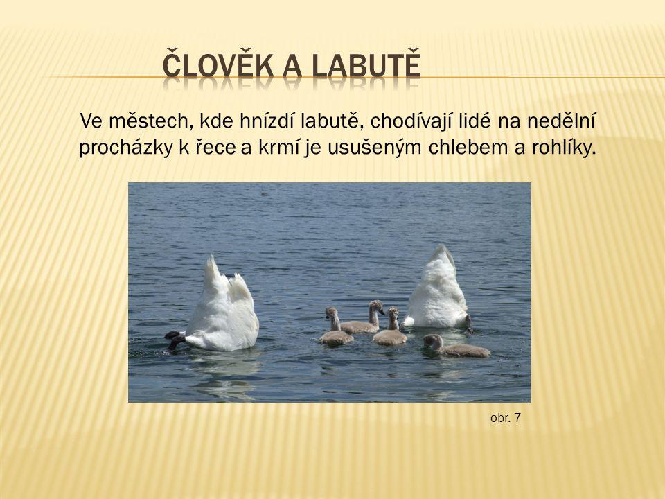 Ve městech, kde hnízdí labutě, chodívají lidé na nedělní procházky k řece a krmí je usušeným chlebem a rohlíky. obr. 7