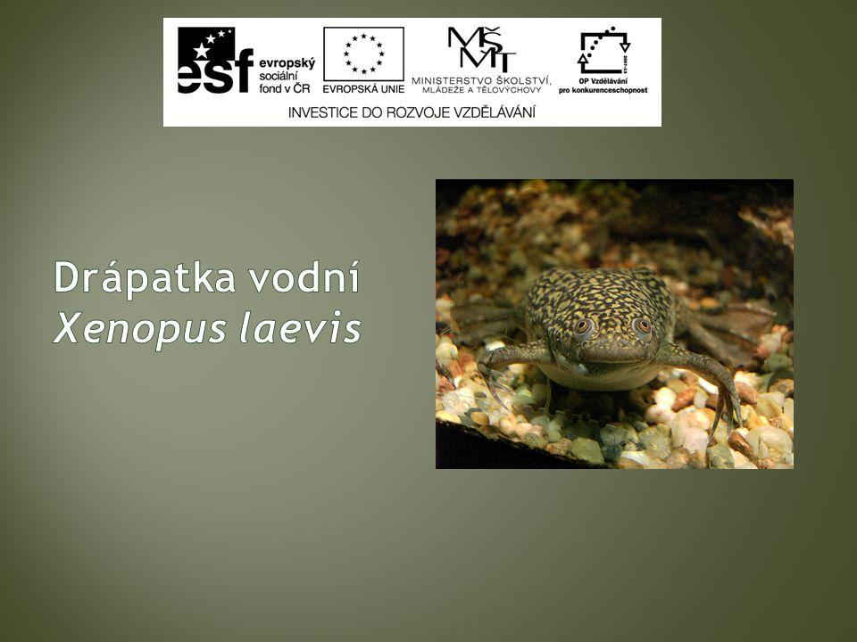 Třída : Obojživelníci ( Amphibia ) Řád : Žáby ( Ecaudata ) Čeleď : Pipovití ( Pipidae) Druh : Drápatka vodní (Xenopus Laevis)
