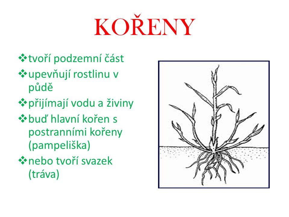 KO Ř ENY  tvoří podzemní část  upevňují rostlinu v půdě  přijímají vodu a živiny  buď hlavní kořen s postranními kořeny (pampeliška)  nebo tvoří svazek (tráva)