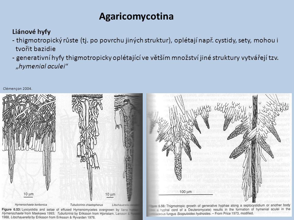Liánové hyfy - thigmotropický růste (tj. po povrchu jiných struktur), oplétají např. cystidy, sety, mohou i tvořit bazidie - generativní hyfy thigmotr