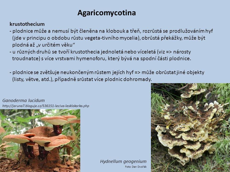 Agaricomycotina krustothecium - plodnice může a nemusí být členěna na klobouk a třeň, rozrůstá se prodlužováním hyf (jde v principu o obdobu růstu veg
