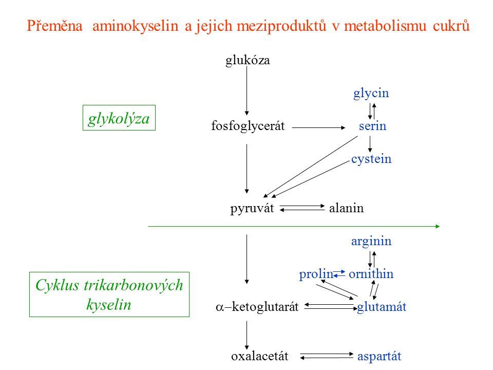 Přeměna aminokyselin a jejich meziproduktů v metabolismu cukrů glukóza glycin fosfoglycerát serin cystein pyruvátalanin arginin prolinornithin 