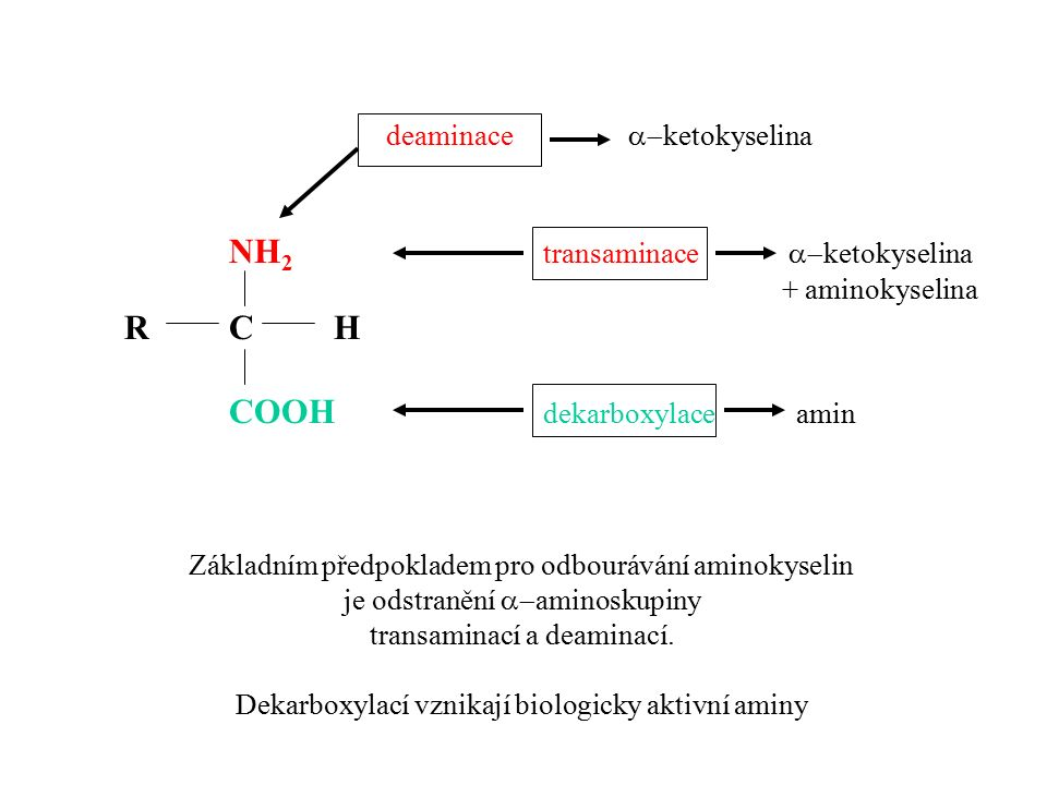NH 2 transaminace  ketokyselina + aminokyselina RCH COOH dekarboxylace amin deaminace  ketokyselina Základním předpokladem pro odbourávání aminoky