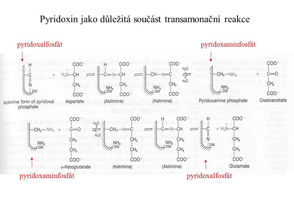 Pyridoxin jako důležitá součást transamonační reakce pyridoxalfosfát pyridoxaminfosfát pyridoxaminfosfát pyridoxalfosfát
