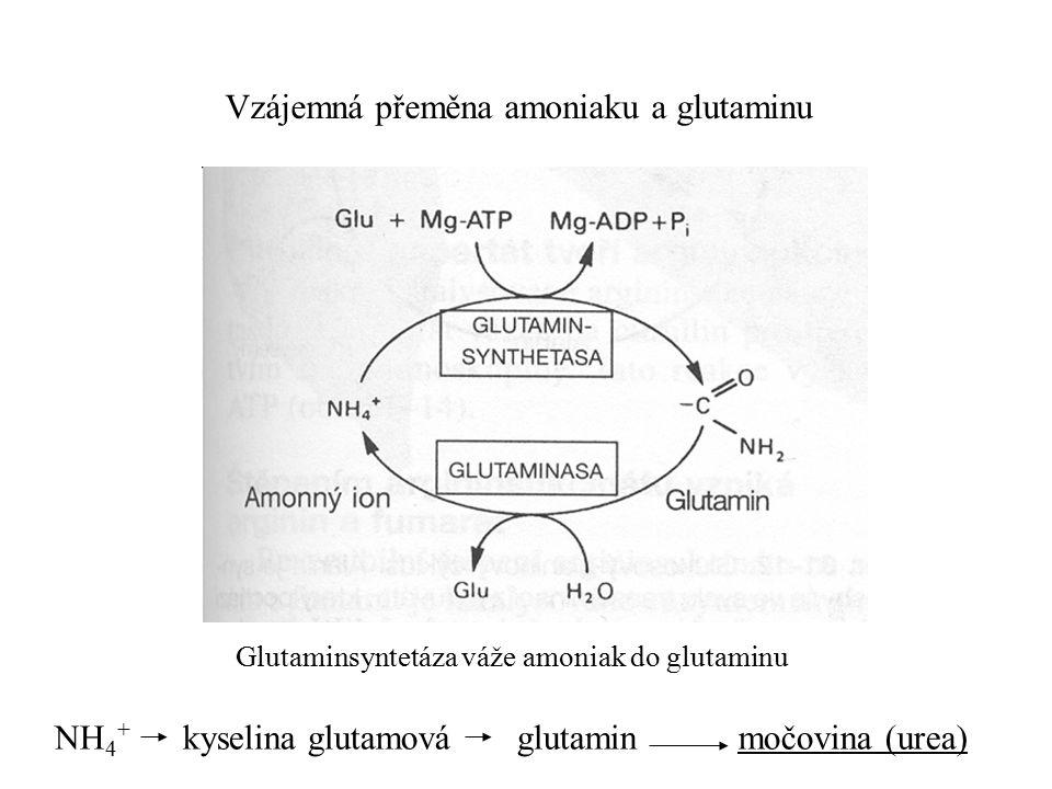 Vzájemná přeměna amoniaku a glutaminu Glutaminsyntetáza váže amoniak do glutaminu NH 4 + kyselina glutamová glutamin močovina (urea)