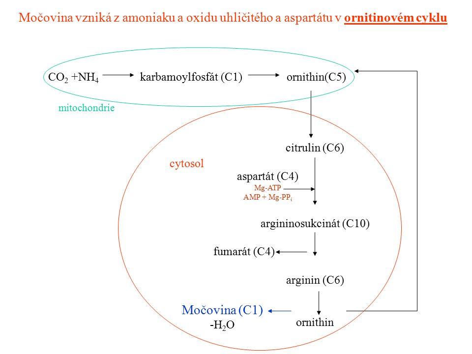 Močovina vzniká z amoniaku a oxidu uhličitého a aspartátu v ornitinovém cyklu CO 2 +NH 4 karbamoylfosfát (C1) ornithin(C5) citrulin (C6) aspartát (C4)